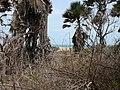 Borassus aethiopum 0055.jpg