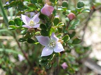 Boronia - Boronia algida in Mount Buffalo National Park