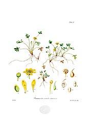 Ranunculus acaulis