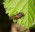 Brachypalpa sp. - Flickr - gailhampshire.jpg