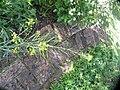 Brassica rapa L. (AM AK330285-3).jpg