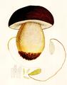 Bresadola - Boletus aereus.png
