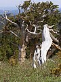 Bristlecone (Pinus aristata) P6040285.jpg