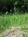 Bromus hordeaceus subsp. hordeaceus sl3.jpg