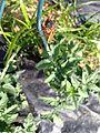 Brood V 17 year Magicicada periodical cicadas (28292741596).jpg