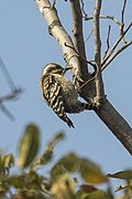 Brown-backed Woodpecker - Gambia (31838114303).jpg