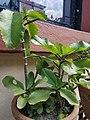 Bryophyllum1.jpg