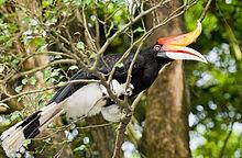 Een zwarte vogel met witte onderbuik, witte snavel en roodoranje hoorn die op een tak zit a