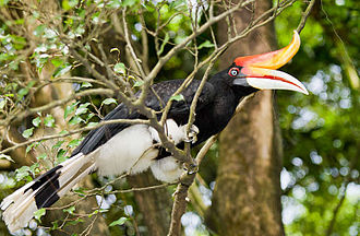 Sarawak - The rhinoceros hornbill is the state bird of Sarawak.