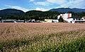 Buchweizen Anbaufläche Villach, Kärnten.jpg
