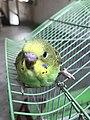 Budgerigar Bird 05.jpg