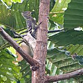 Buff-rumped Woodpecker (14100212853).jpg