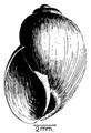 Bulinus globosus shell 2.png