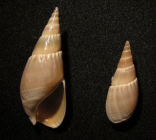<i>Bullia natalensis</i> species of mollusc
