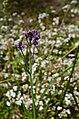 Bunga verbena di antara bunga daisy di gunung semeru.jpg
