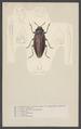 Buprestis - Print - Iconographia Zoologica - Special Collections University of Amsterdam - UBAINV0274 001 07 0002.tif