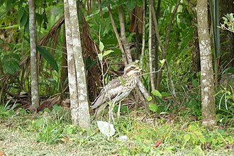 Garners Beach, Queensland - Bush stone-curlew at Garners Beach, 2011