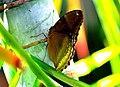 Burma Arakan States Hypolimnas Bolina Jacintha Great Egg Fly femelle (26091493542).jpg