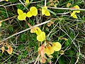 Burren Flora 21 Birds-Foot Trefoil (3586236966).jpg