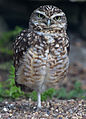 Burrowing Owl (7113151549).jpg