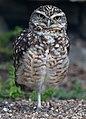 Burrowing Owl (7113151549).jpg