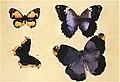 Butterflies Augusto Giacometti (1897).jpg