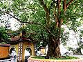 Cây bồ đề chùa Trấn Quốc.jpg