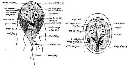 Cysta duodenalis giardia, Giardiasis tünetei és kezelése