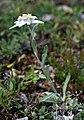 CH Leontopodium alpinum 2.jpg