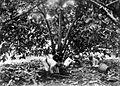 COLLECTIE TROPENMUSEUM Het begraven van cacaoschillen op djati roenggo onder een meerstammig gekweekte cacaoboom Java TMnr 10012163.jpg