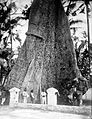 COLLECTIE TROPENMUSEUM Randoe alasboom te Toeban Oost Java TMnr 10006254.jpg