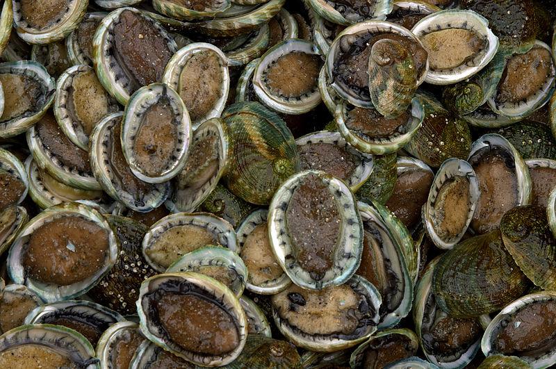 File:CSIRO ScienceImage 7550 Cultured abalone.jpg