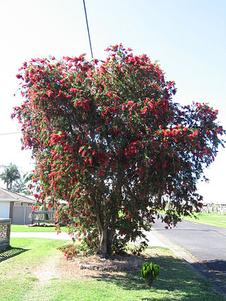 Nambour, Queensland - The red flowering bottle brush Callistemon viminalis after which Nambour is named