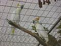 Cacatua sulphurea -Paphos Zoo-6.jpg