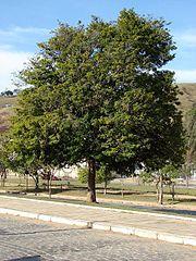 Árvore adulta.