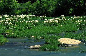 Cahaba River National Wildlife Refuge - Cahaba lilies in bloom along the river within the refuge.