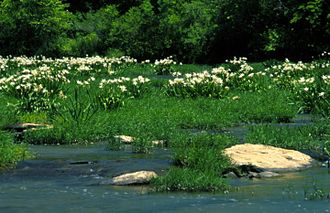 A stand of Cahaba lilies (Hymenocallis coronaria) in the Cahaba River, within the Cahaba River National Wildlife Refuge CahabaRiverNWR1.jpg