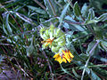 Calendula arvensis Fruits DehesaBoyaldePuertollano.jpg