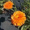 Calendula officinalis g1.jpg