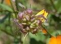 Calendula suffruticosa fruit 0057.jpg