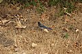 California Scrub Jay - Aphelocoma californica (43869980191).jpg