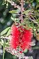 Callistemon in Christchurch Botanic Gardens 02.jpg