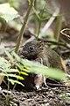 Callosciurus erythraeus thaiwanensis (30138931643).jpg