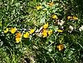 Caltha palustris 8.jpg