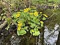 Caltha palustris Marsh-marigold kingcup (bekkeblom soleihov) pond marsh forest (liten dam i skog røtter) Øvre Barkvik-Rødskogen, Tjøme, Oslofjorden, Norway 2021-05-16 IMG 0034.jpg