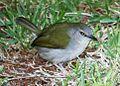 Camaroptera Green-backed 2007 05 26 13 51 343724.jpg
