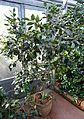 Camellia oleifera - Wilhelma Zoo - Stuttgart, Germany - DSC01900.jpg