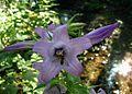 Campanula latifolia closeup.jpg