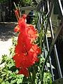 Campeggio San Bartolomeo,Gladioli rosso fuoco - panoramio.jpg