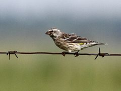 Canary Black-throated 2012 01 15 08 09 00 4016.jpg
